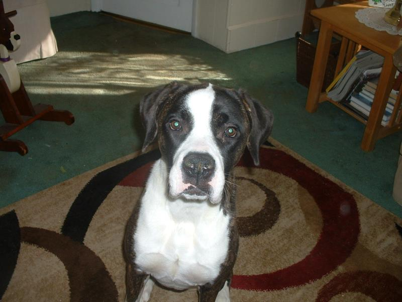 Available Dogs New Life Boxer Rescue